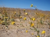 desert sunflower